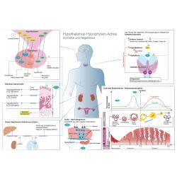 Poster | Endokrinologische Zusammenhänge