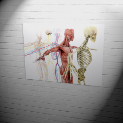 Poster | anatomical bodys