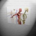 Poster | anatomical bodys